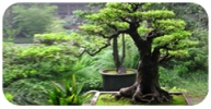 Plants for Bonsai