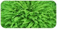 Terrestrial ferns
