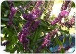 Lonchocarpus sp.