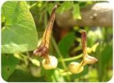 Aristolochia angucida
