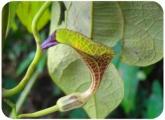 Aristolochia sprucei