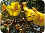 Cochlospermum vitifolia