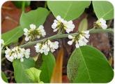 Dalbelgia ecastaphyllum