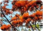 Erythrina poeppigiana