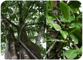 Ficus sp.