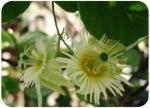 Passiflora arberlaezii