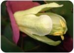 Passiflora membranaceae