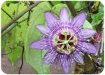 Passiflora menispermifolia