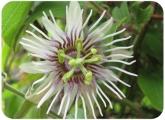 Passiflora quinquingularis