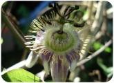Passiflora standleyi