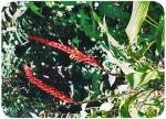 Pitcairnia brittoniana